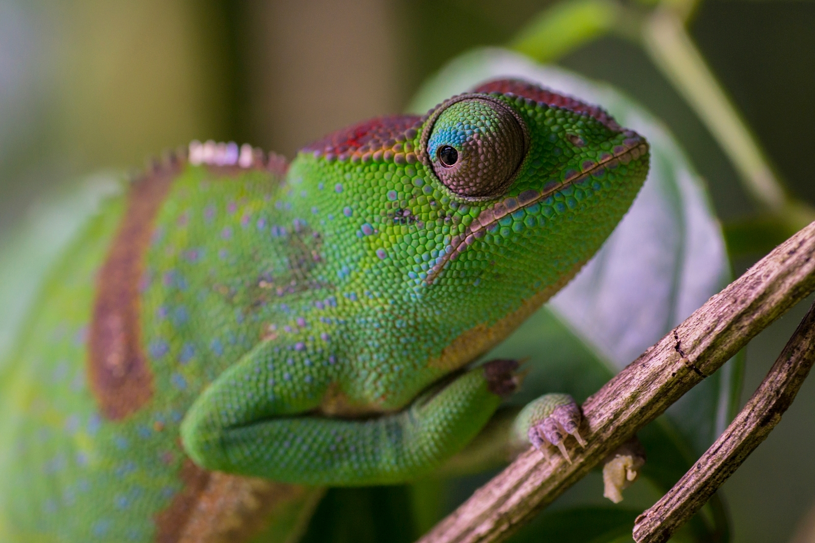 Madagaskar Chameleon