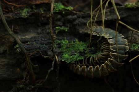 panama_centipede