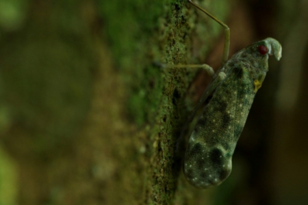 panama_cicada