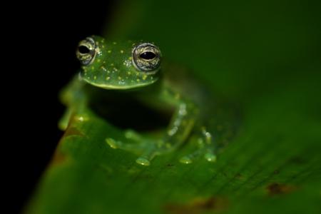 panama_leaf_frog
