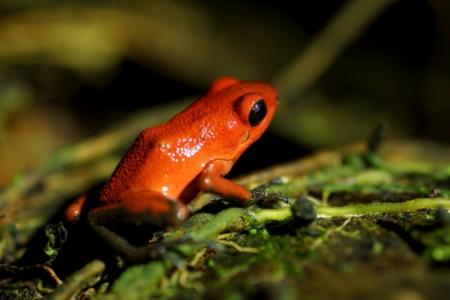 panama_poison_dart_frog