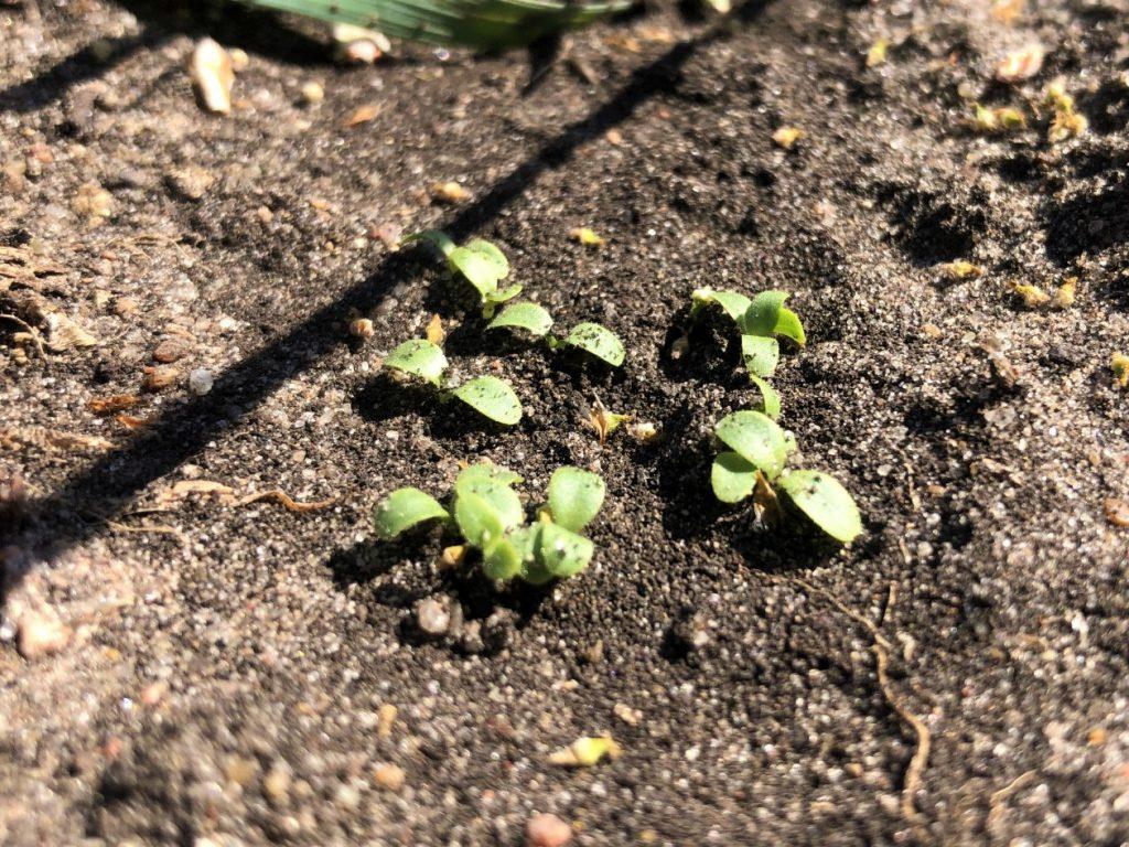 Pflücksalat - erste Pflänzchen