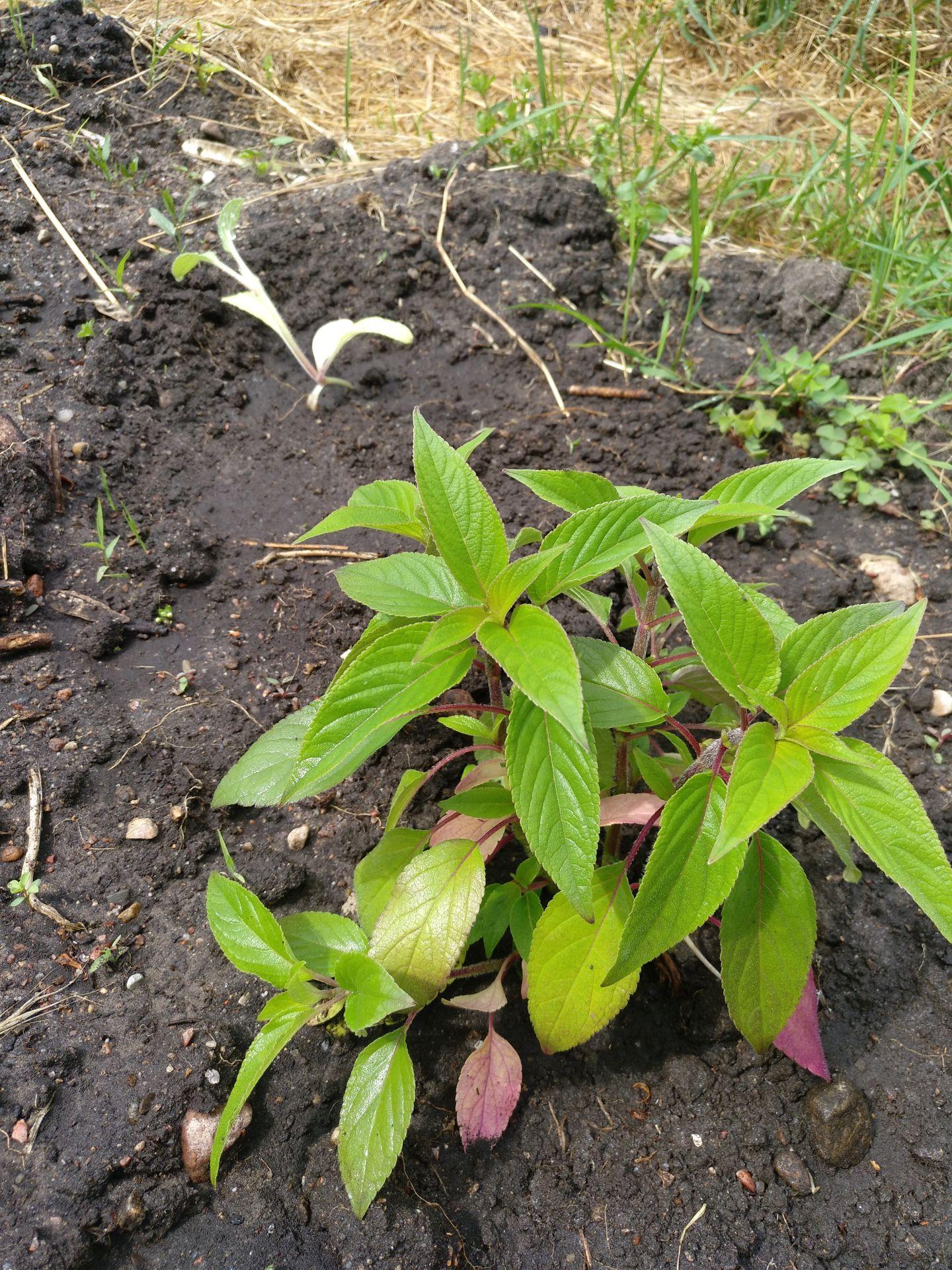 Ananassalbei gepflanzt