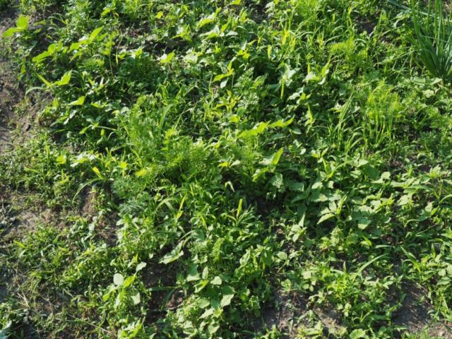 Nutzpflanzen mit Ackerbegleitflora