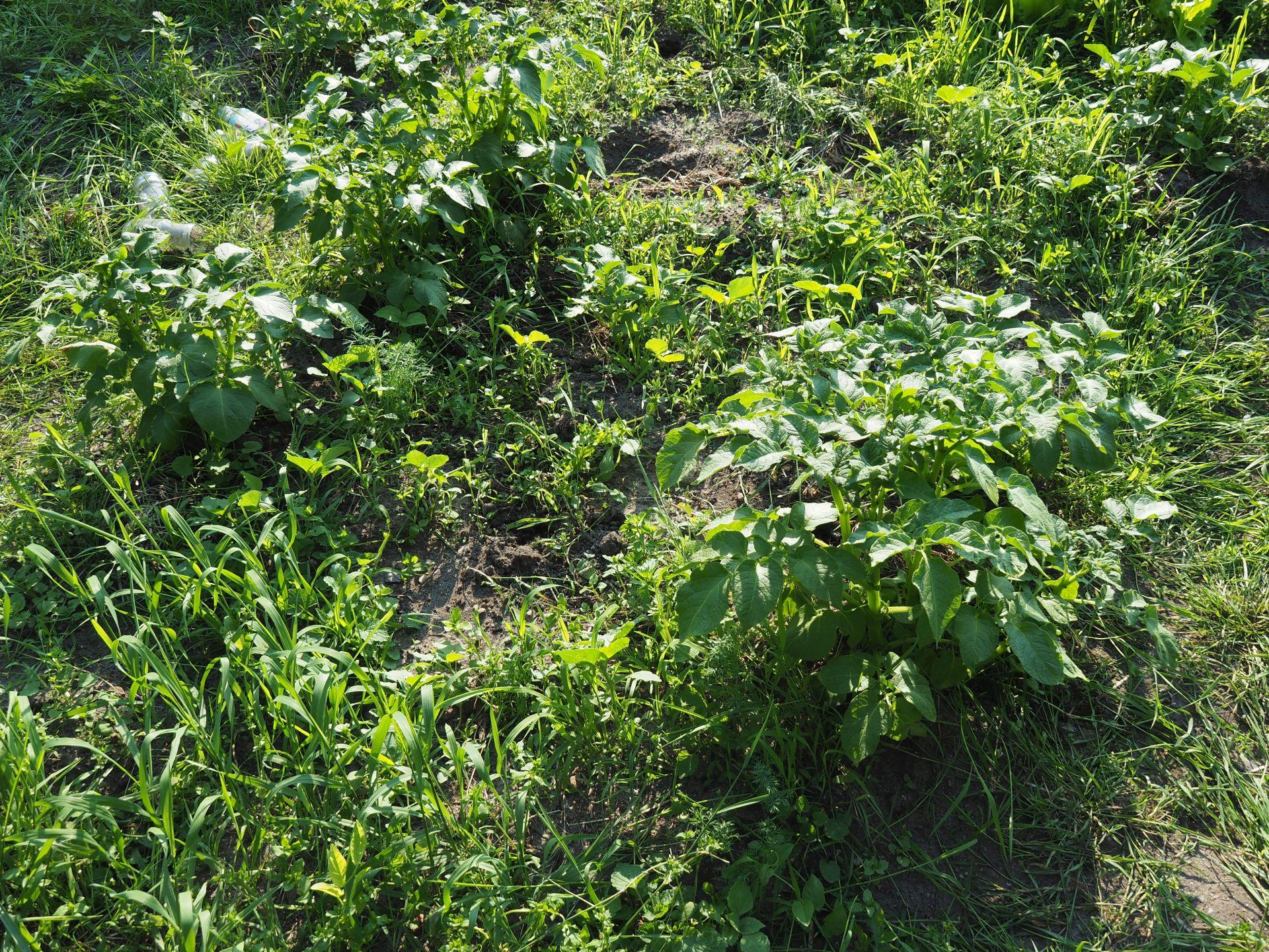 Kartoffelpflanzen